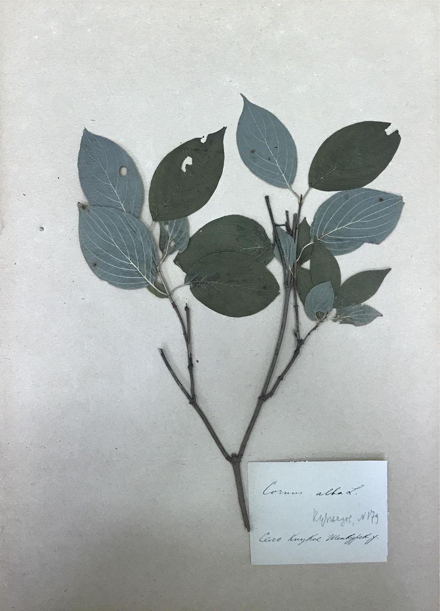 АОКМ КП-6877-170 Б-1-170 Гербарный лист Свидина белая